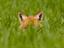 fox111